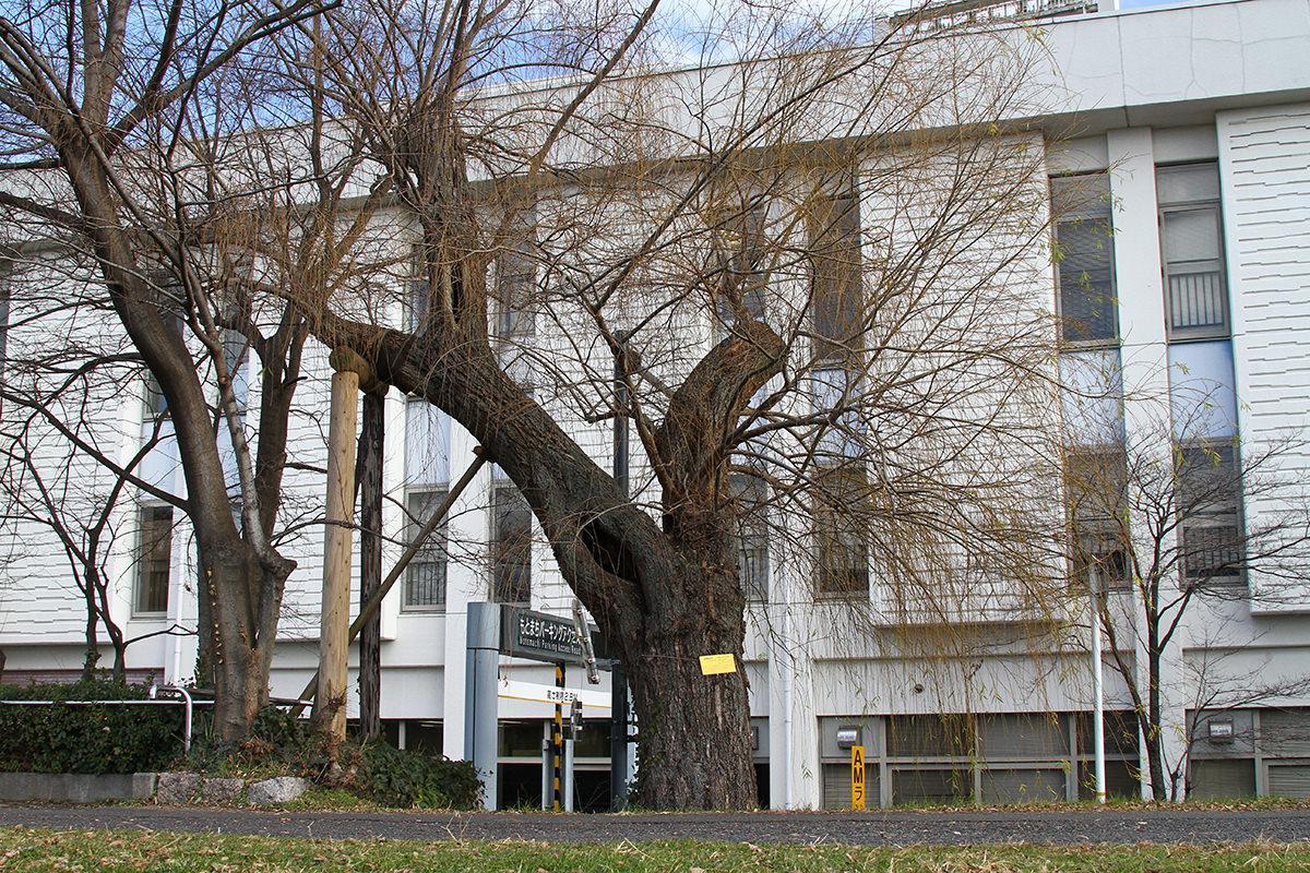 シダレヤナギ(青少年センター西側本川沿い)(被爆樹木)