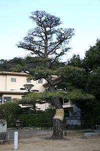 マツ・クスノキなど(鶴羽根神社)(被爆樹木)