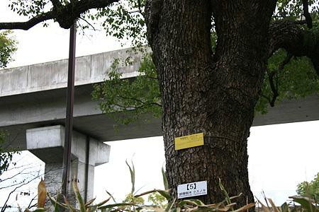 クスノキ(広島県立文化芸術ホール東側)(被爆樹木)
