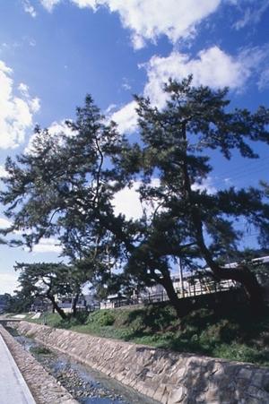 中野砂走(なかのすなばしり)の出迎えの松(市指定史跡)