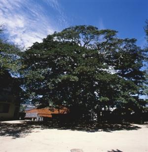 正伝寺(しょうでんじ)のクロガネモチ(県天然記念物)