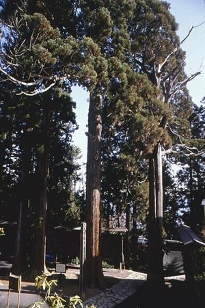 燈明杉(とうみょうすぎ)(市指定天然記念物)