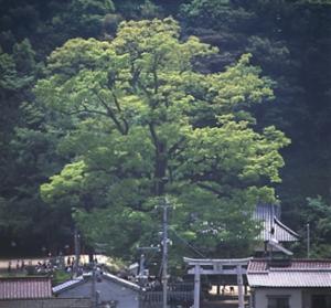 切幡神社(きりはたじんじゃ)の大ケヤキとシイ林(市指定天然記念物)