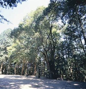 中の森八幡神社のアラカシ(市指定天然記念物)