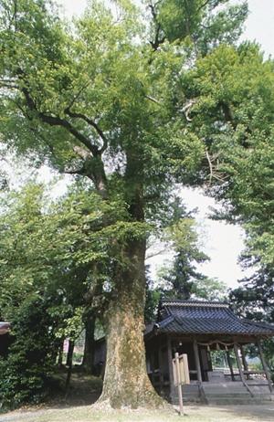 宮野八幡神社の大エノキ(市指定天然記念物)
