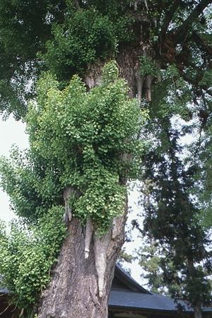 温井八幡の乳下りイチョウ(ぬくいはちまんのちちさがりイチョウ)(市指定天然記念物)