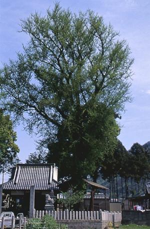 友広神社のイチョウ(市指定天然記念物)