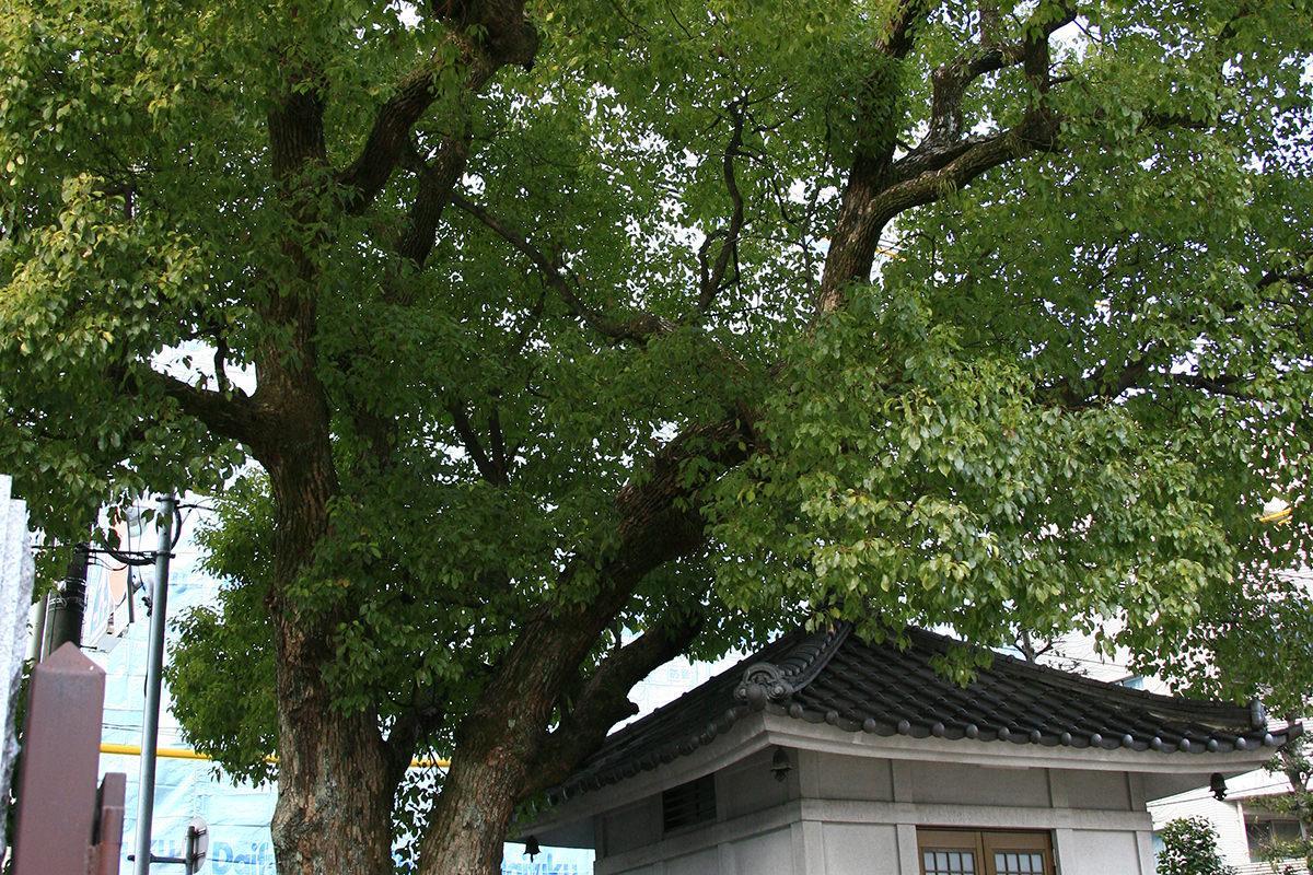 クスノキ(光隆寺)(被爆樹木)