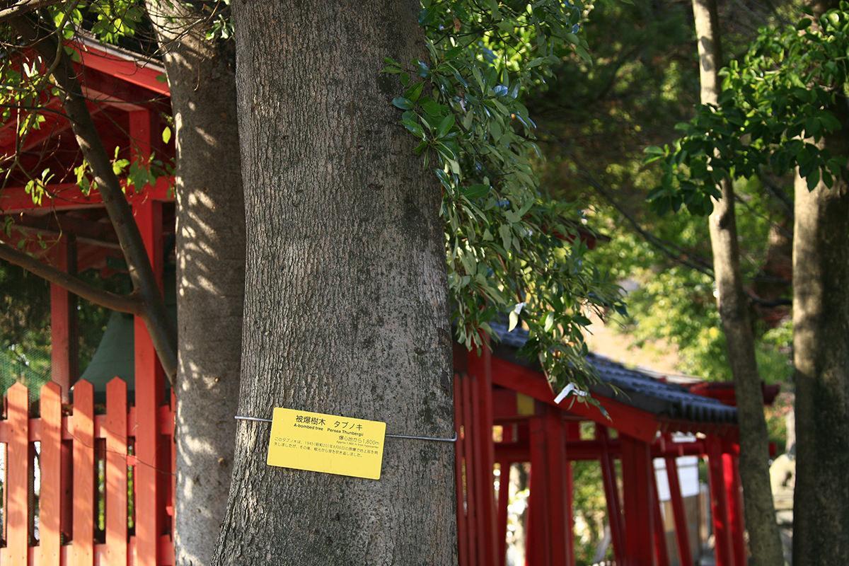 タブノキ・サクラ(碇神社)(被爆樹木)