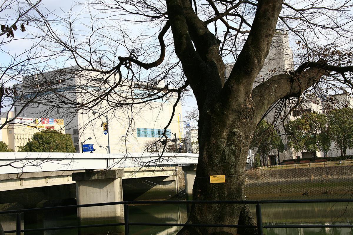 エノキ(上柳橋河岸)(被爆樹木)
