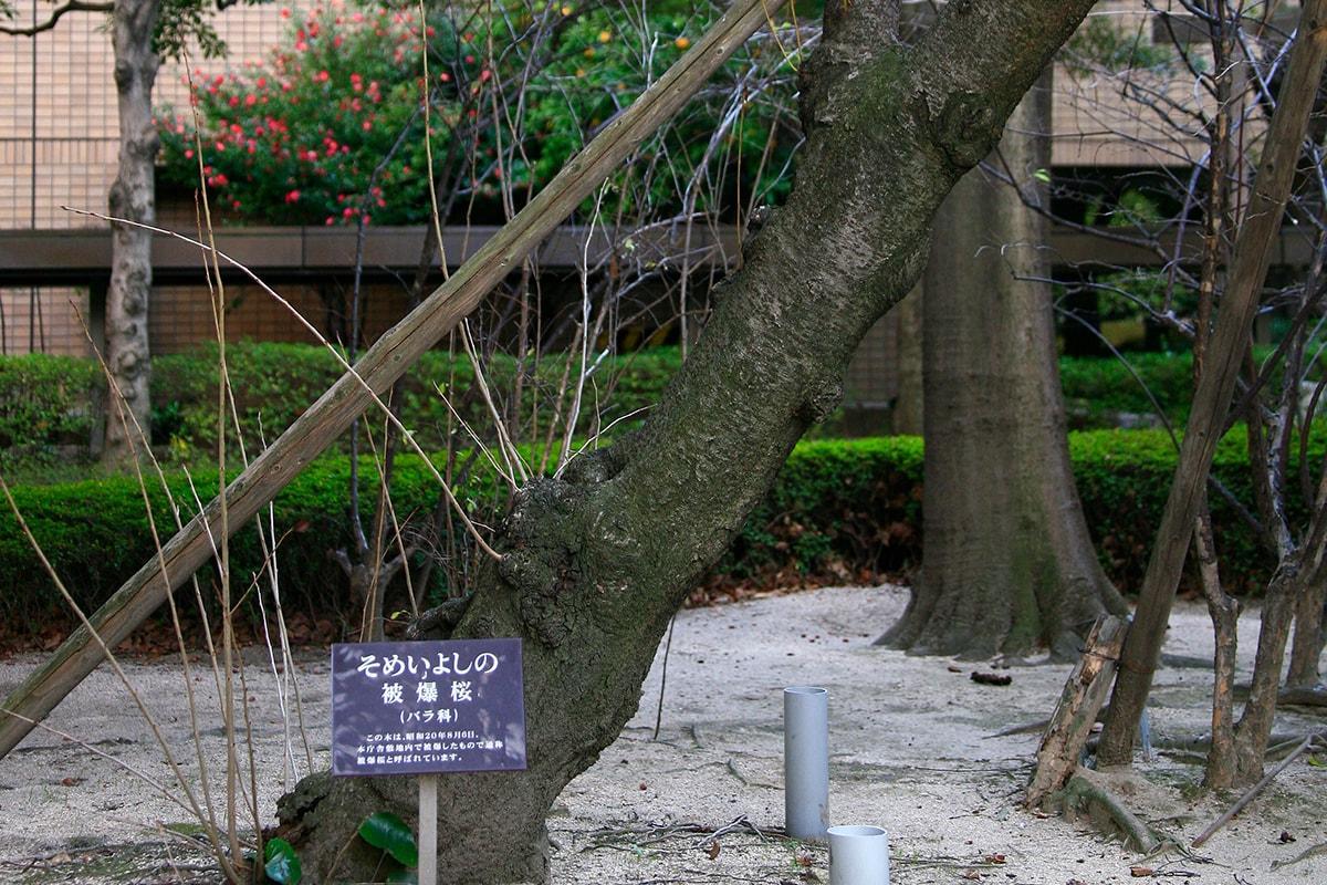 ソメイヨシノ(広島市役所)(被爆樹木)