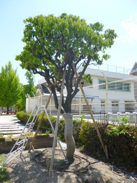 アラカシ(本川小学校校庭)(被爆樹木)
