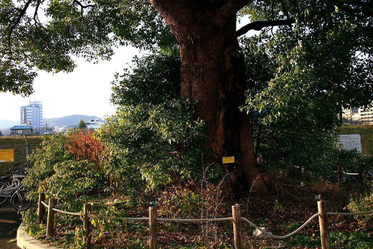 クスノキ(広島市営住宅南西側)(被爆樹木)