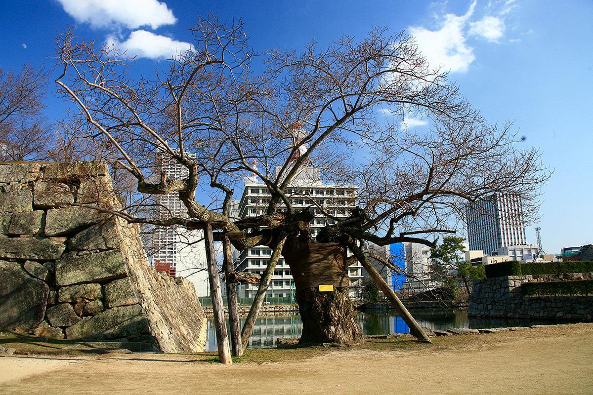 ユーカリ・マルバヤナギ(広島城跡)(被爆樹木)