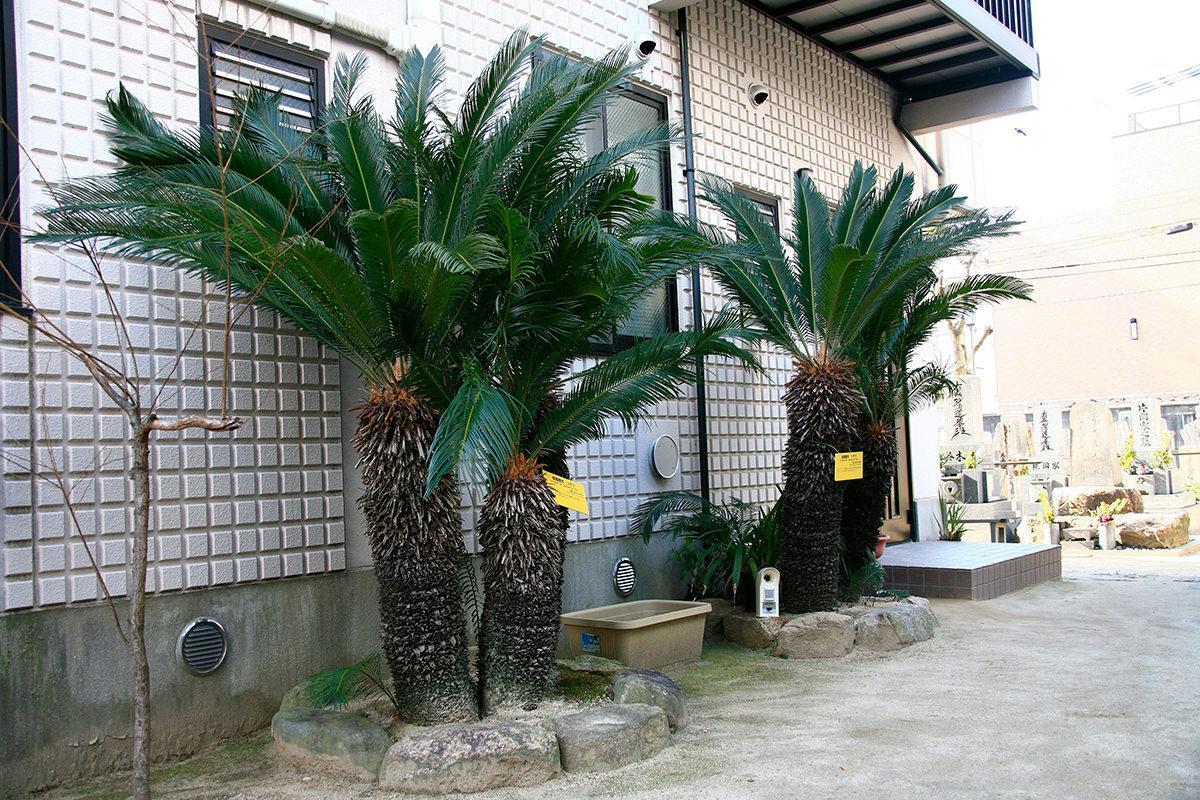 ソテツ(長遠寺)(被爆樹木)