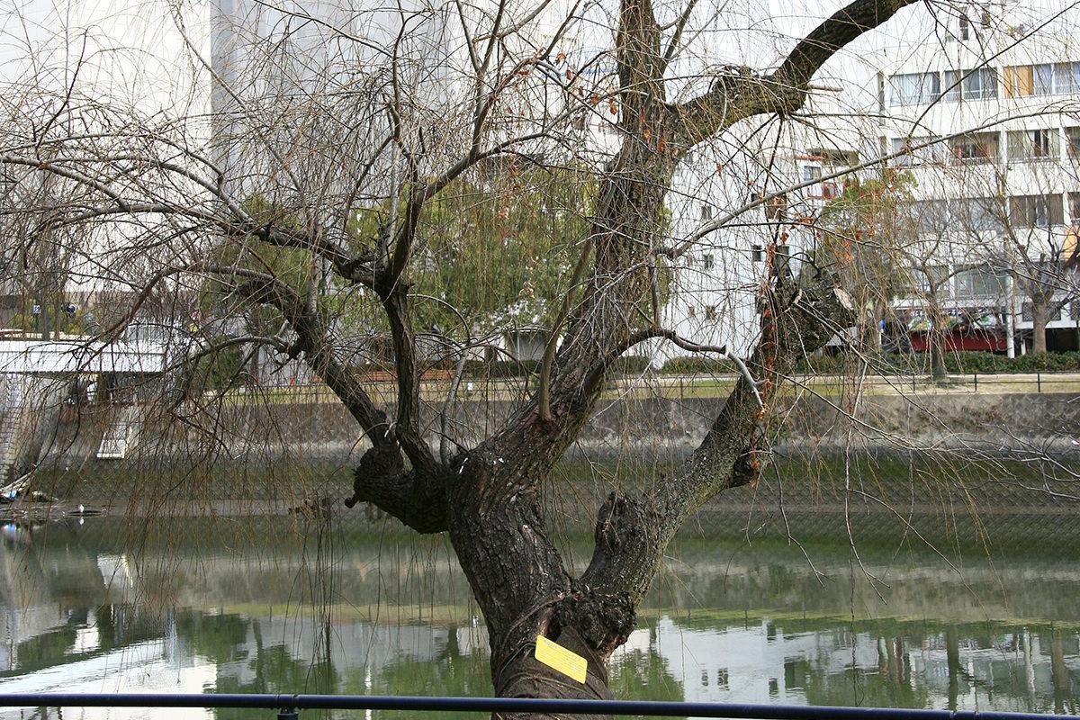 シダレヤナギ(上柳橋西詰河岸)(被爆樹木)