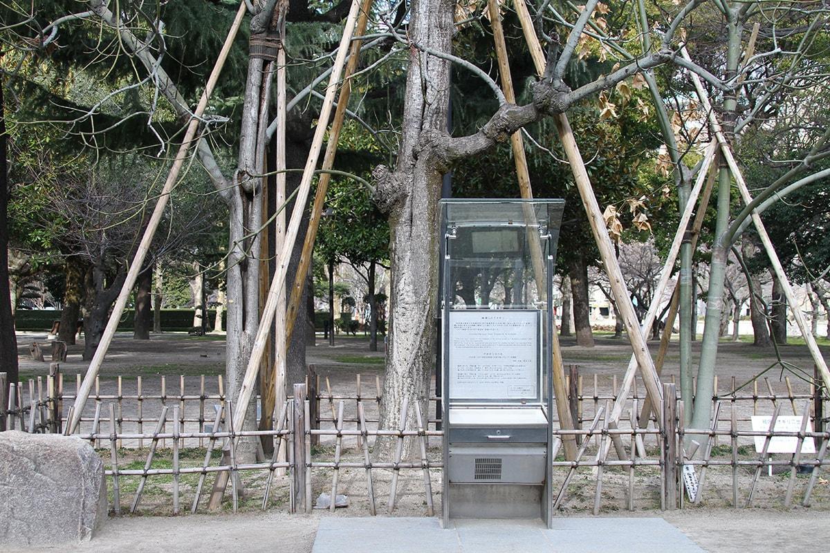 アオギリ(平和記念資料館北東側)(被爆樹木)