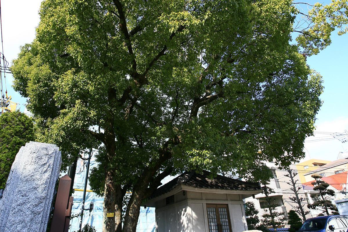クスノキ(三篠神社境内)(被爆樹木)
