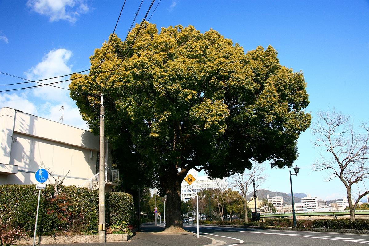 クスノキ(天満小学校南東側の道路沿い)(被爆樹木)