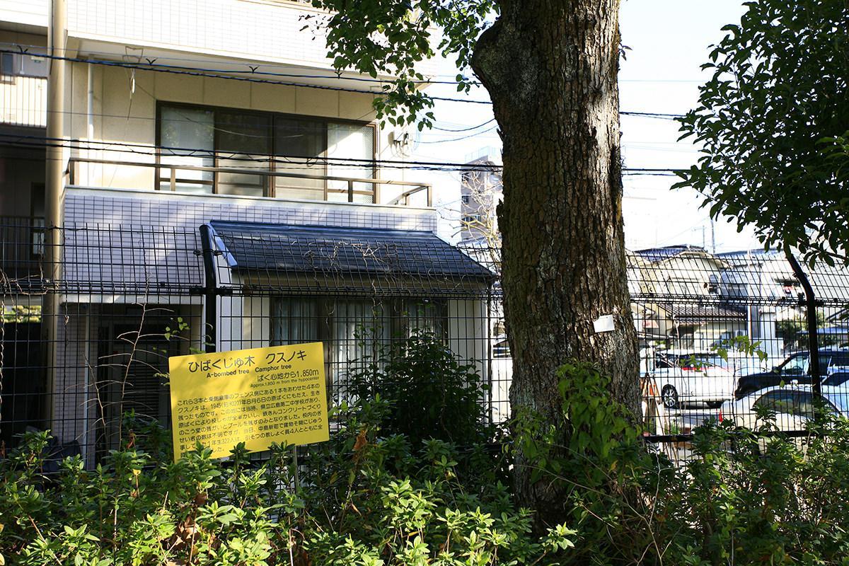 クスノキ(観音小学校)(被爆樹木)