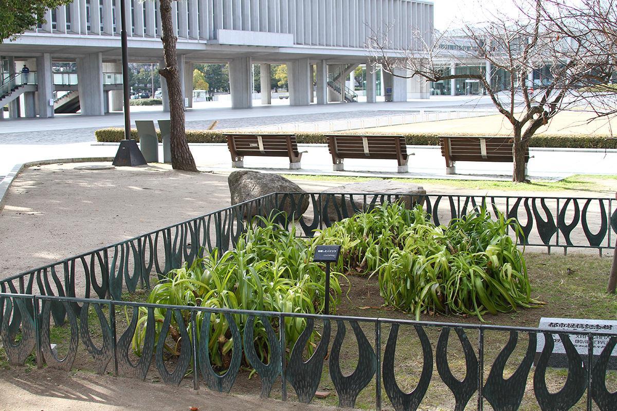 ハマユウ(平和記念公園)(被爆樹木)
