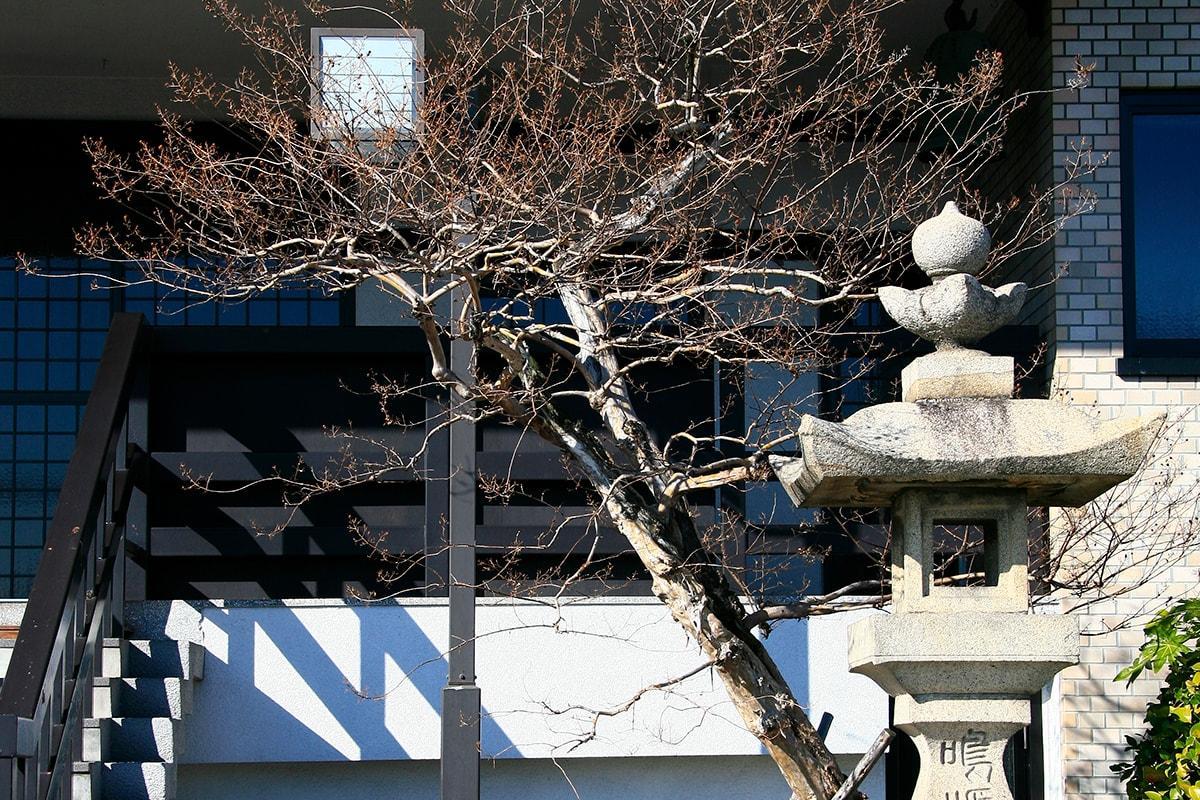 サルスベリ(善正寺内)(被爆樹木)